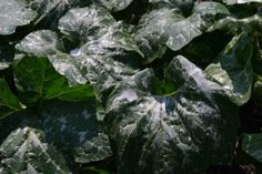 Traces of soap spray on my pumpkin plant's leaves. Get those squash bugs outta there!