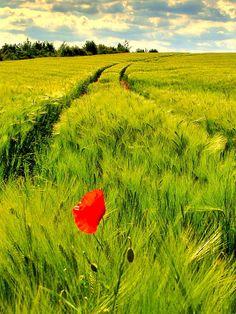 barley field, Bechy, Lorraine, France