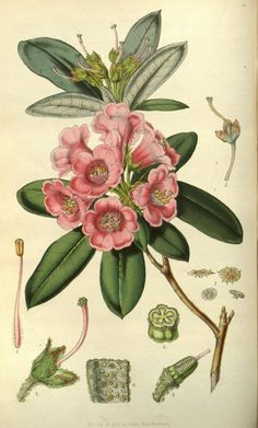 v.7 (1851-52) - Flore des serres et des jardins de l'Europe - Biodiversity Heritage Library