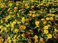 Melapodium 'Million Gold' - plant a little sunshine in the garden.