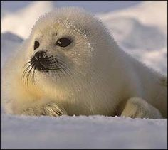 Baby Animals Photo Gallery | Away.com  |  Wildlife photographers go deep into the Arctic wild to capture the baby seals on film. The pups' fur is that beautiful, pure white color for just three weeks, and it takes a helicopter to reach them.