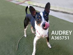 Audrey is now available at the SF SPCA.