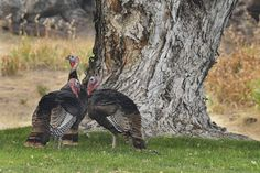 Pilot Rock considers lethal removal of nuisance turkeys