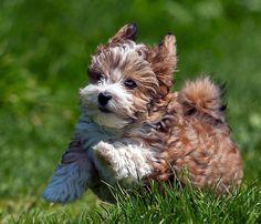 Haveanese puppy