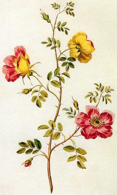 english rose illustrations..........www.picturingplants.com
