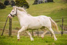 cream horses - Google Search