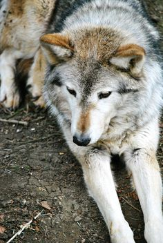 Running with the Wolves : Photo