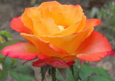 A golden, coral-red rose bloom...pretty...