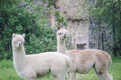 Alice (l) & Tara (r) our 2 female alpacas at Lazydaysbnb.
