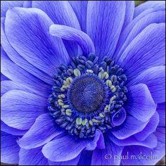 ~~Blue Rhapsody | Anemone macro by FiddleFlix~~