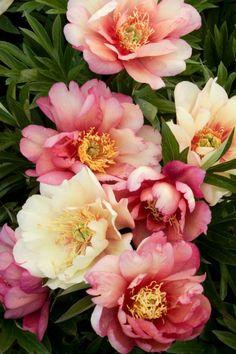 "flowersgardenlove: ""Itoh Peony 'Julia Ro Beautiful gorgeous pretty flowers """