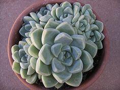 Echeveria elegans 'Albicans' (Dionysos en Olerdola) Tags: crassulaceae echeveria albicans