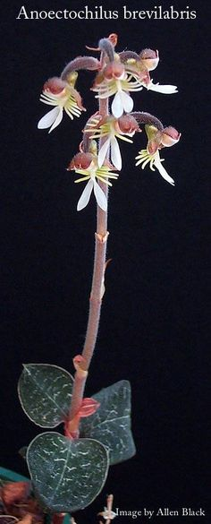 Orchid: Anoectochilus brevilabris - Found in the eastern Himalayas and Assam,  India, at elevations of 900 to 1500 meters as a small-sized, warm to cool-growing epiphyte.