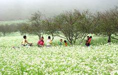 Đam mê du lịch: Mộc Châu đẹp tinh khôi mùa hoa cải trắng