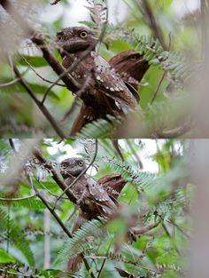 Ceylon Frogmouth (Batrachostomus moniliger), Sinharaja Forest, Sri Lanka #SriLanka #Sinharaja #Birds