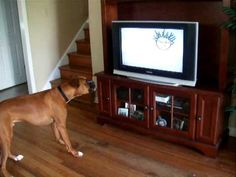 Dupree the boxer dog protests against watching Baby Einstein