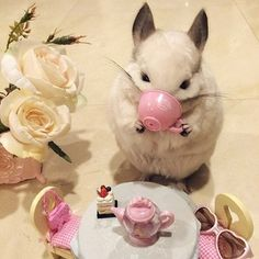 """""""Drink antioxidant tea every day.""""   Bubu The Chinchilla Will Inspire You To Live A Better Life"""