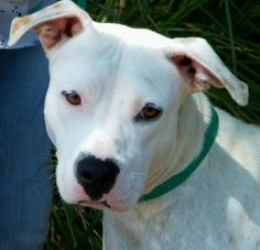 Akeela: American Staffordshire Terrier, Dog; Greenwood, SC