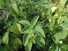 Plantas que curam: Boldo-sete-dores