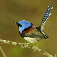 The Lovely Fairy-wren is one of the smallest, most colorful, and also one of the most difficult to photograph birds on the Cape because of how fast it moves through dense undergrowth.    Photo by natgeo