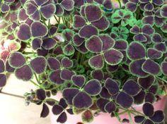 Oxalis Trifolium repens var. nigricans
