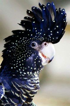 Maybe this cockatoo got into the test strips too. Red Tailed Black Cockatoo with spots, dots and stripes! a real beauty with the deep blue color. Pretty Birds, Beautiful Birds, Animals Beautiful, Cute Animals, Beautiful Friend, Baby Animals, Funny Animals, Exotic Birds, Colorful Birds