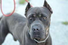 Brooklyn Center My name is BLUE. My Animal ID # is A1015264. I am a male blue and tan cane corso mix. The shelter thinks I am about 3 YEARS old. I came in the shelter as a OWNER SUR on 09/25/2014 from NY 11368, owner surrender reason stated was NO ANSWER. I came in with Group/Litter #K14-195666. KILLED.
