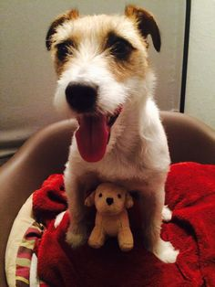 #dog #jrt #JackRussellTerrier #JackRussell