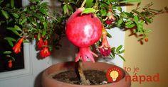 Kupujete granátové jablká? Semienka z nich nevyhadzujte, takto jednoducho z nich vypestujete vlastnú úrodu!