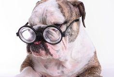 The Character of the English Bulldog