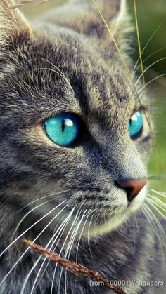 Cute Kittens With Blue Eyes Grey Cats Cute Cats And Kittens, Cool Cats, Kittens Cutest, Cats In Love, Funny Cats, Funny Animals, Cute Animals, Animals Images, Beautiful Cats