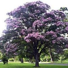 Albizia julibrissin rosea a charming soft foliaged tree with buy cape chestnut tree seeds calodendrum capense indigenous for r395 mightylinksfo Gallery