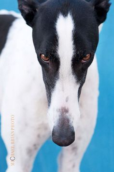 """I have you in my power"" (just as all greyhounds do!)  Michael Brian Photo"