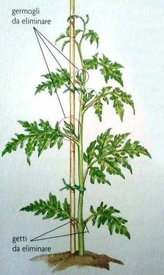I pomodori, nella cucina mediterranea sono molto apprezzati e largamente utilizzati. In questa breve guida, scopriremo come coltivarli sul nostro balcone. {loadposition ads21} Coltivazione pomodori - informazioni Famiglia: Solanacee Nome: Solanum Lycopersicum Origini: America del sud Col