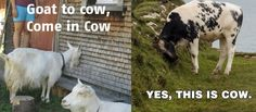 Goat to cow. -YES. This pretty much just made my night :)