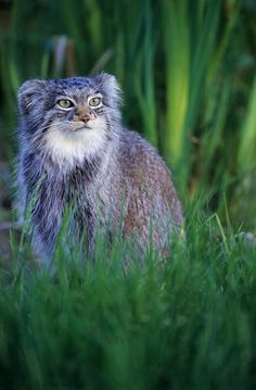 [The Russian Pallas Cat is about the size of a domestic house cat but it has some characteristics that make it quite different from our furry friends. It has a stocky posture and long, dense fur that give it the appearance of an overly stuffed animal. It's eyes are unique in that it has round pupils, instead of slits like most other small cats. Pallas Cats have shorter legs than those of other cats and ears which are set very low and wide apart. An endangered specie as well.