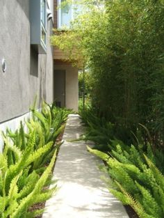 for narrow pathways. I've always liked that fern (foxtail?) and wondered how to use it well. Landscaping Plants, Front Yard Landscaping, Front Walkway, Landscape Design, Garden Design, Foxtail Fern, Shade Tolerant Plants, Asparagus Fern, Meditation Garden