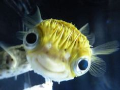 This pufferfish is happy to see ya! http://ift.tt/2AxxKA6 cute puppies cats animals