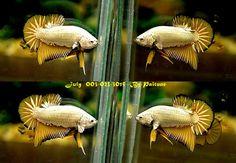 Betta, Thailand, Dragon, Fish, Animals, Animales, Animaux, Pisces, Betta Fish