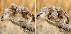 Kissing owl family!