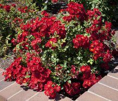 Wing Ding Polyantha Roses