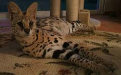 savanna cat. i will have one of these one day