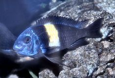 """White Spotted Cichlid, pictured is a Tropheus duboisi """"Maswa"""""""