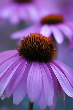 Purple Coneflower   Extremely easy to grow, drought tolerant, full sun and prefers well drained soil. A hardy perennial in zones 3-9 and blooms summer through fall. Easy and carefree cone flower. by letitia