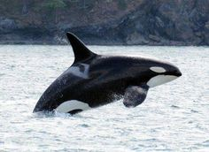 K-20 Spock, F (1986). For years researchers thought Spock was male because of her tall, straight dorsal fin that is typical of males. However, in December 2004 she had her first known calf, Comet (K-38), proving that she is indeed a female.  Photo by: Whale Sightings