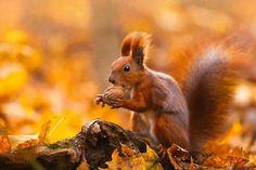 Rare red squirrel