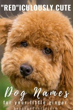 """Dog Names Discover 111 RED DOG Names That Are """"RED""""iculously Adorable - Happy-Go-Doodle Searching a name for your fiery red-haired or a gorgeous ginger puppy? Weve rolled out the red carpet for you and created a colossal list of red dog names. Cute Names For Dogs, Best Dog Names, Puppy Names, Cute Dogs, Cute Girl Dog Names, Goldendoodle Names, Goldendoodles, Cavapoo, Goldendoodle Miniature"""