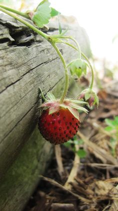 Does anyone else see wild strawberries anymore? I have a few secret spots :)