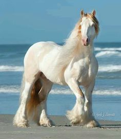 Gorgeous horse on the beach - Love Biscuit (Doc) Gypsy Vanner Stallion. Video…