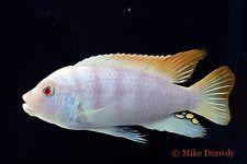 Lake Malawi In Fish Pet Supplies Cichlids African Cichlids Albino